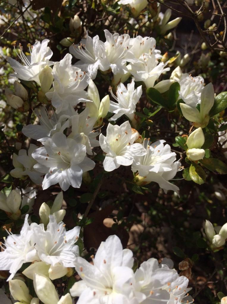 whiteflowers